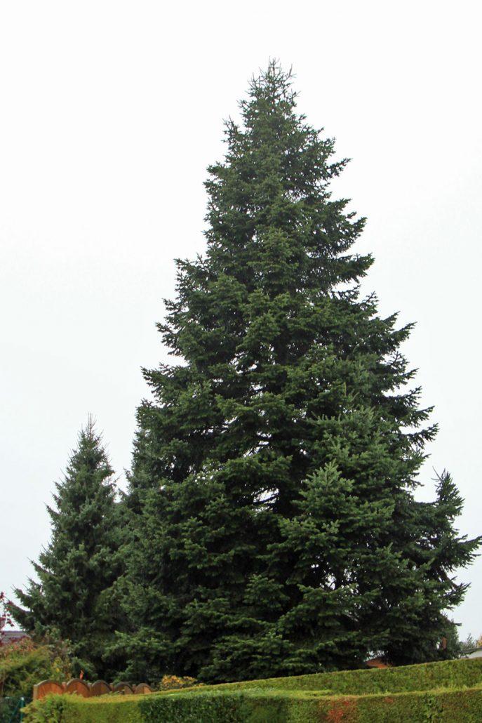 GROEN-Direkt KerstbomenXL-Rooien1-687x1030