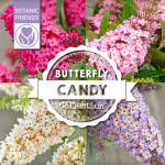 Buddleja 'Butterfly Candy Little Ruby' Populairste noviteit 2021