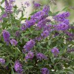 Buddleja davidii Summerlounge 'Lilac Turtle' & 'Purple Lion' & 'White Swan'