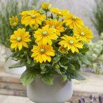 Rudbeckia 'Sunbeckia Ophelia'